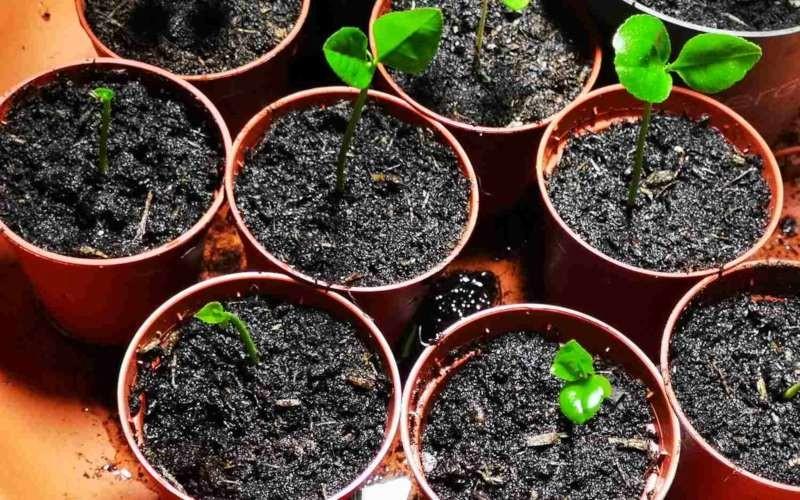 como plantar limao taiti