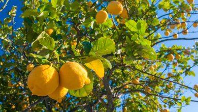como plantar limoeiro eureka