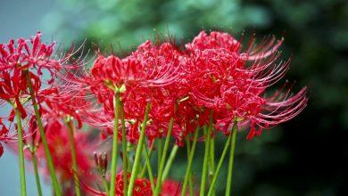 como plantar lírio aranha vermelha