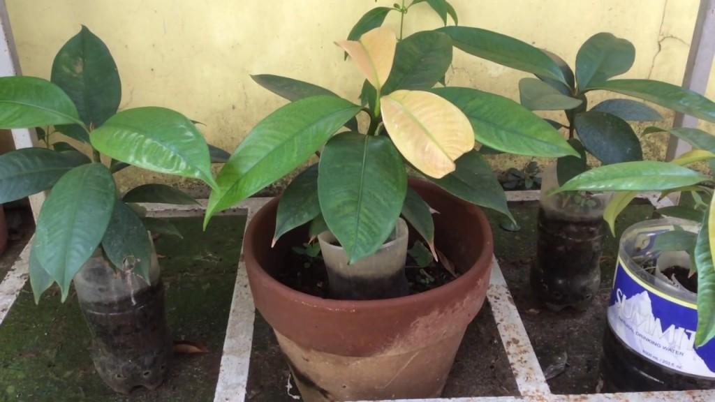como plantar mangostao em casa