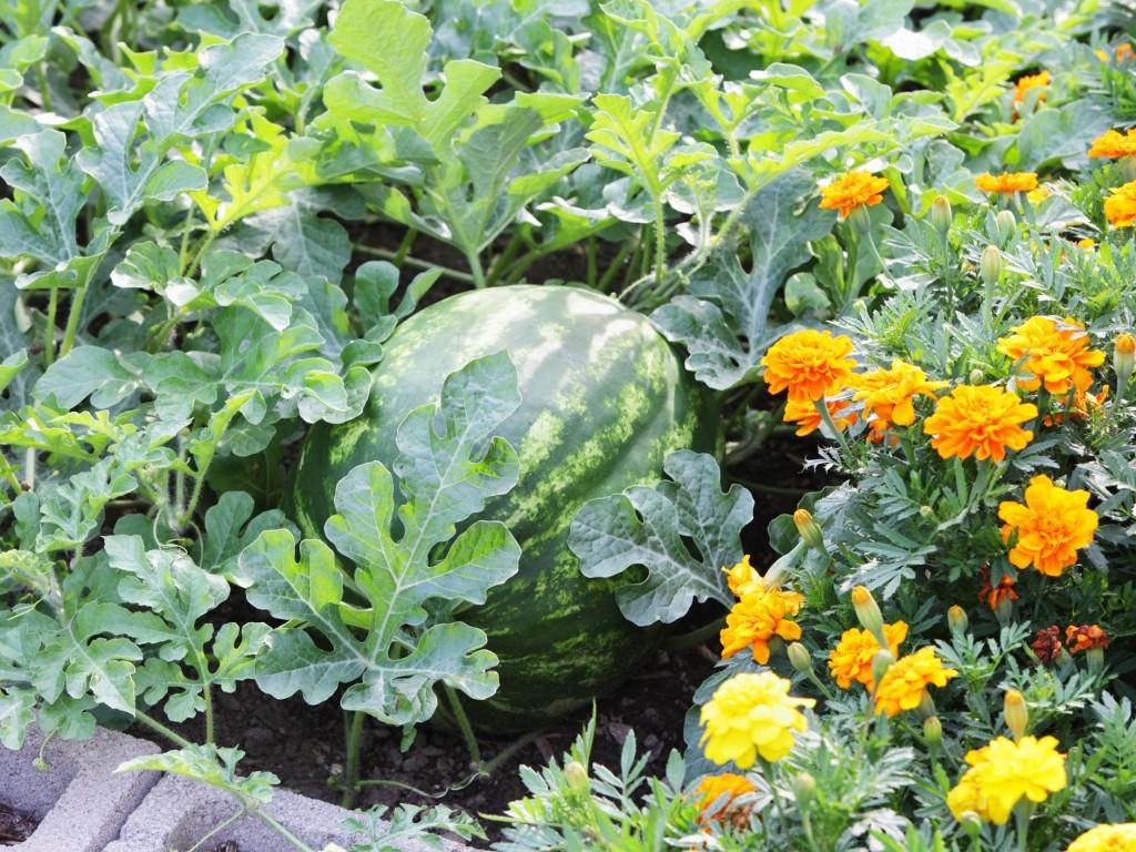 como plantar melancia amarela