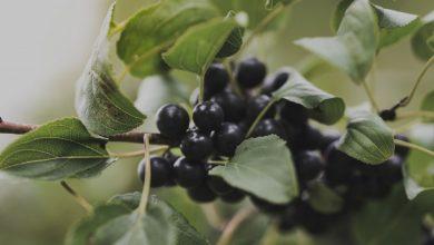 como plantar mirtilos preto