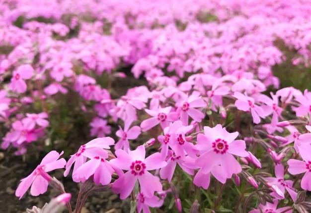 como plantar musgo rosa