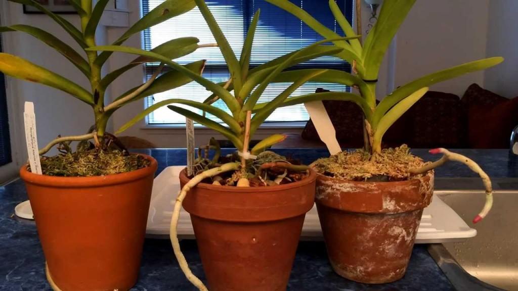 como plantar orquidea no vaso