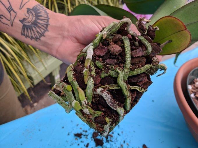 como plantar orquidea