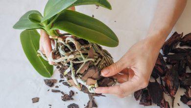 como plantar orquideas em casa (3)