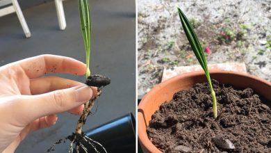 como plantar palmeira areca bambu