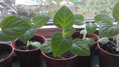 como plantar physalis em casa
