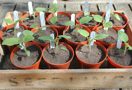 como plantar physalis
