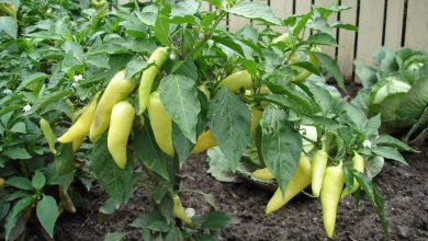 como plantar pimenta de cheiro em casa
