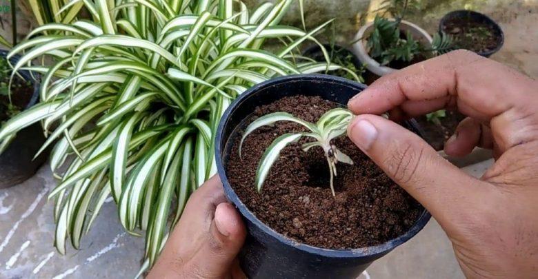 como plantar planta aranha