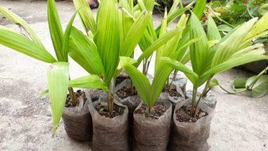 como plantar pupunha