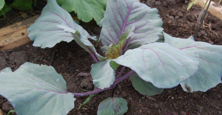 como plantar repolho roxo em casa