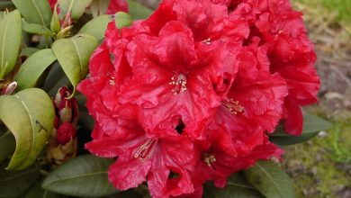 como plantar rododendro
