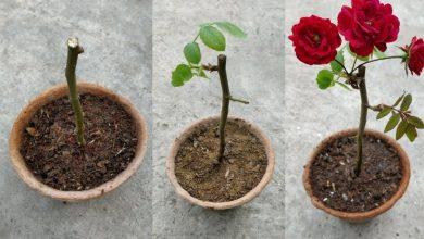 como plantar rosa