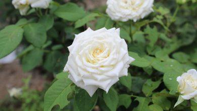 como plantar rosa branca