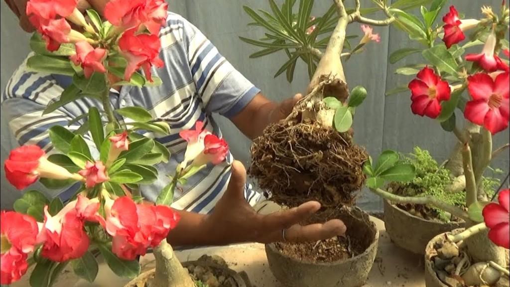 como plantar rosa do deserto