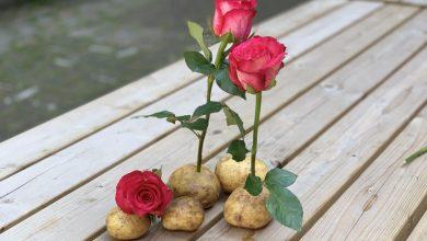 Como plantar rosa na batata
