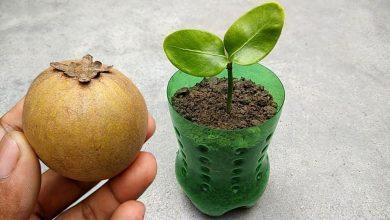 como plantar sapoti em casa