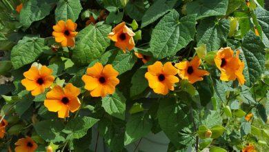como plantar suzana-dos-olhos-negros