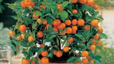 como plantar tangerina em casa