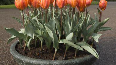 como plantar tulipas