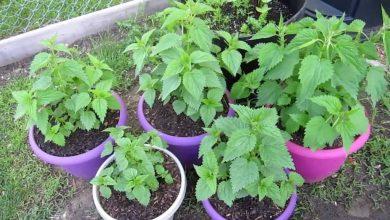 como plantar urtiga