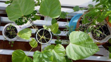 como plantar urucum em casa