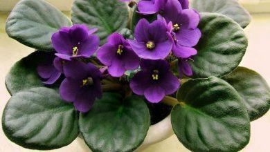 como plantar violeta africana