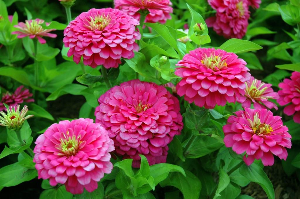 como plantar zinnia em casa