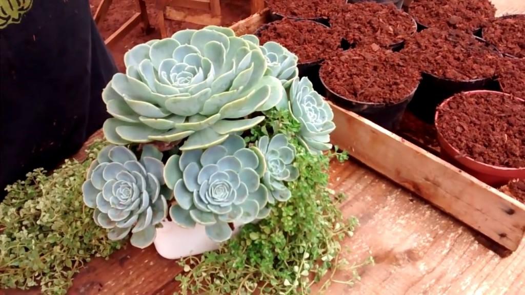 echeveria lilacina como plantar