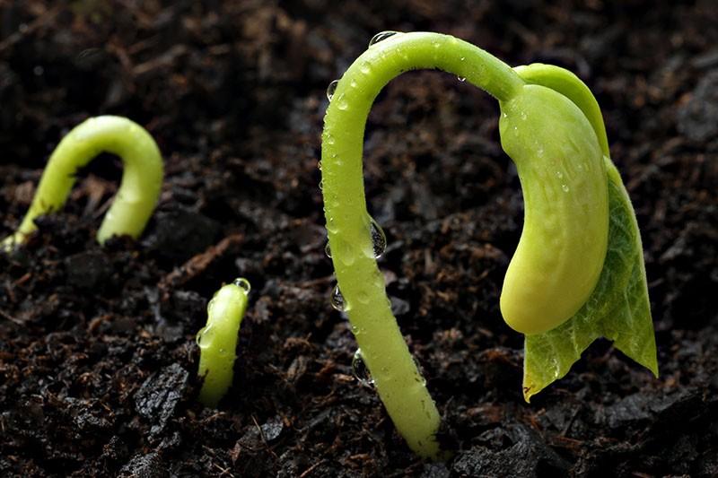 feijao na terra como plantar