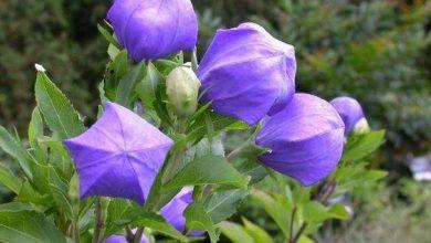 flor balao