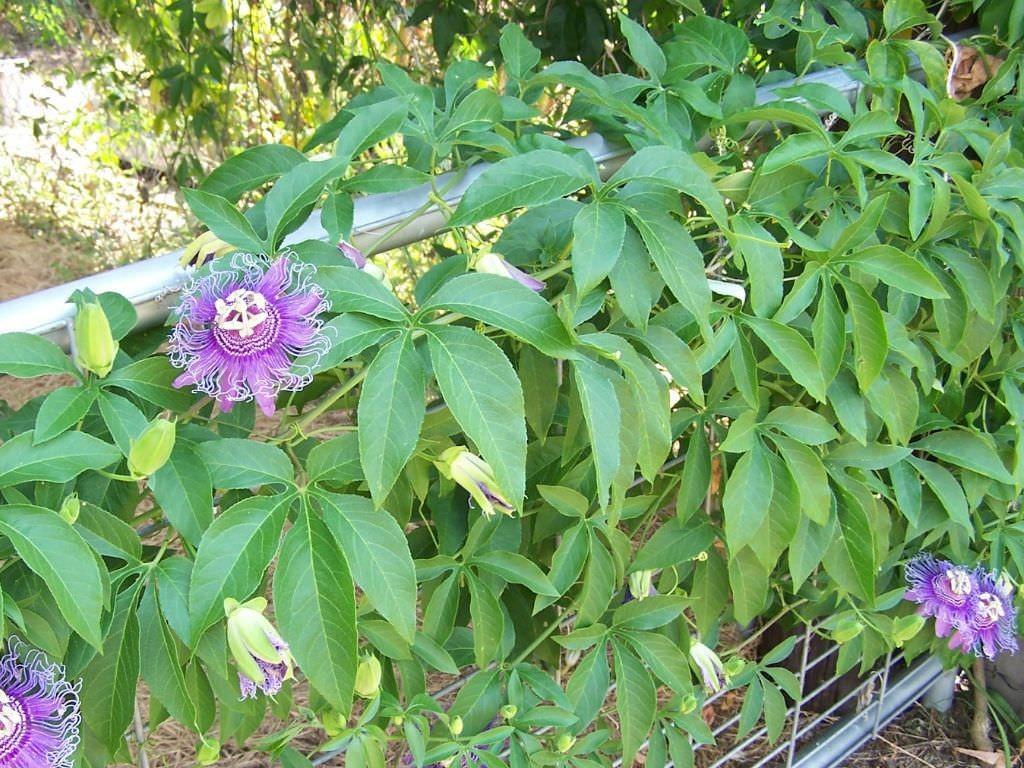 flor da paixao como plantar
