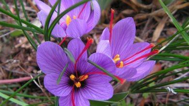flor de açafrao
