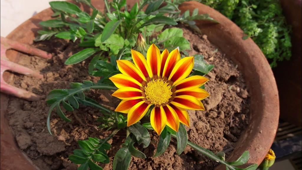 flor de gazania cultivo