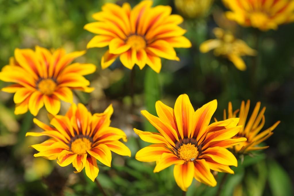 flor de gazania