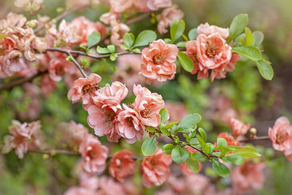 flor de marmelo