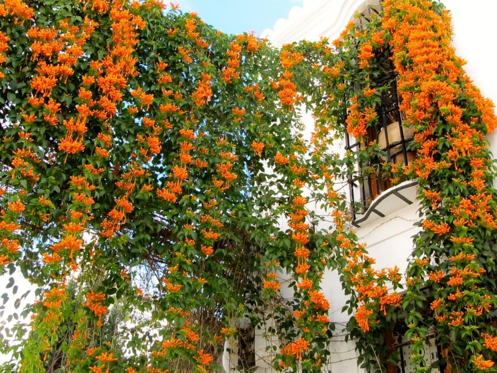 flor de sao joao como plantar