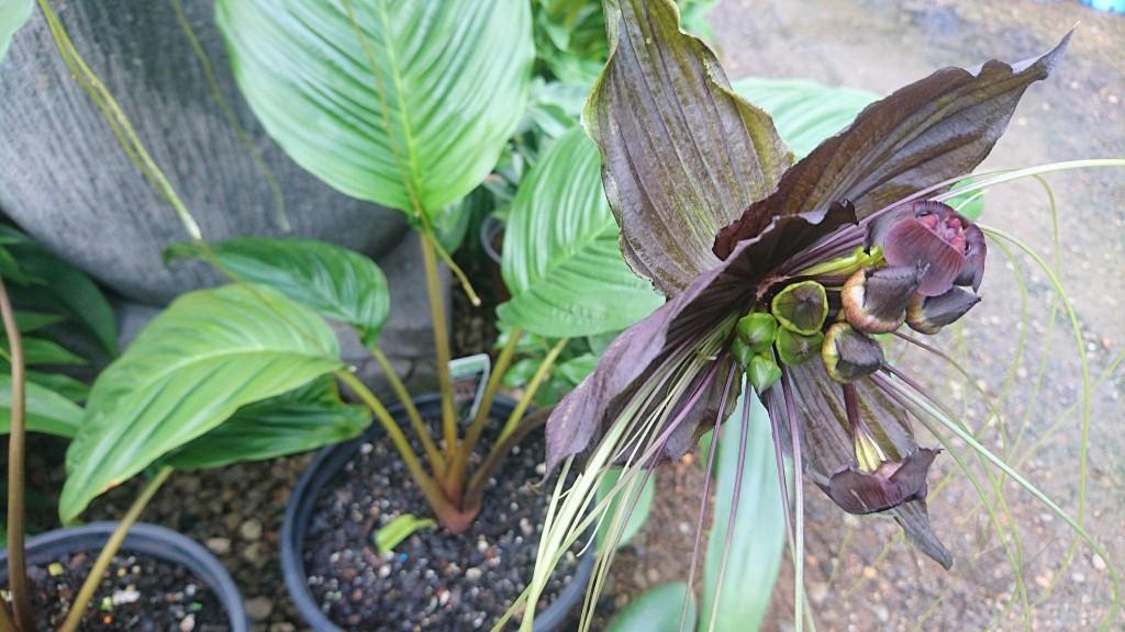 flor morcego como plantar em casa