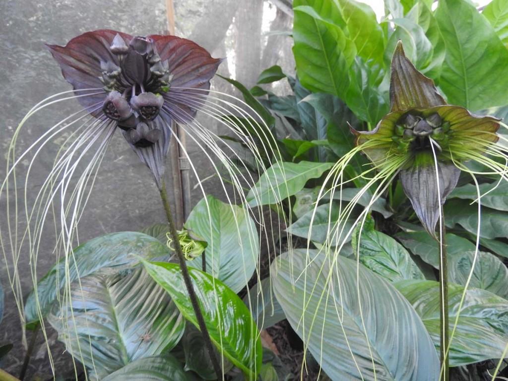 flor morcego como plantar