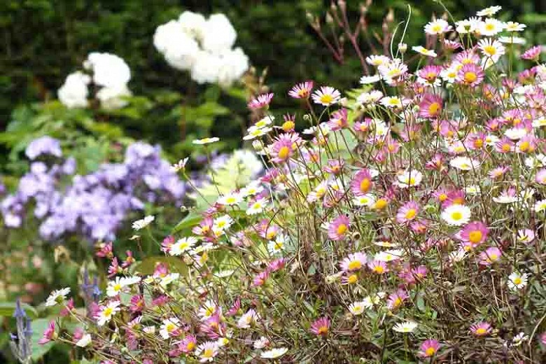 flor pulga mexicana cultivo