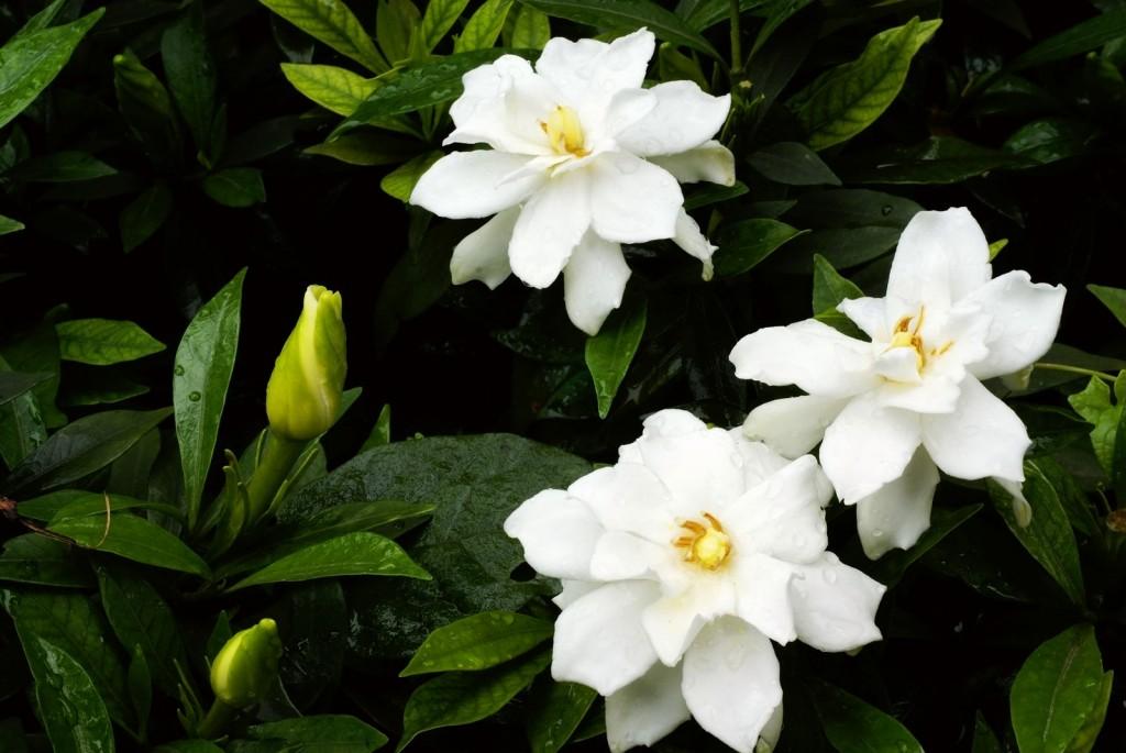 gardenia como plantar