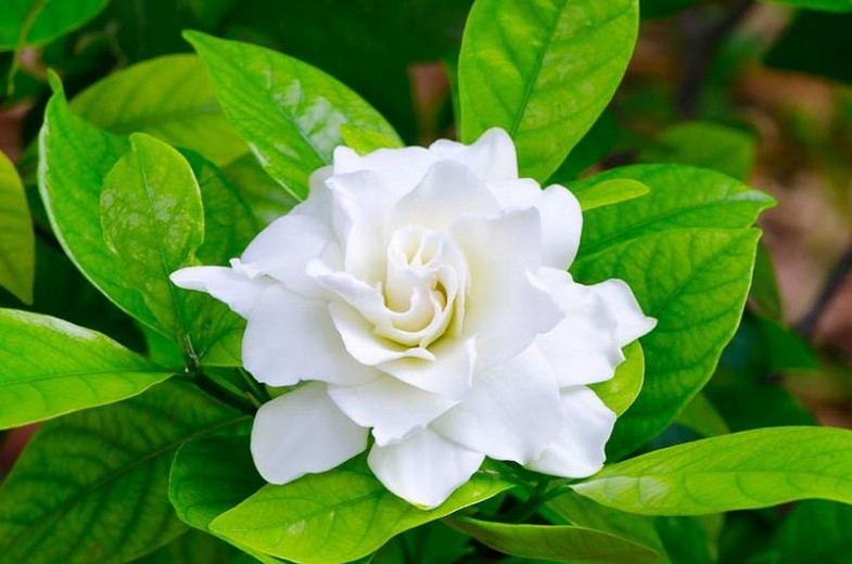 gardenia cuidados