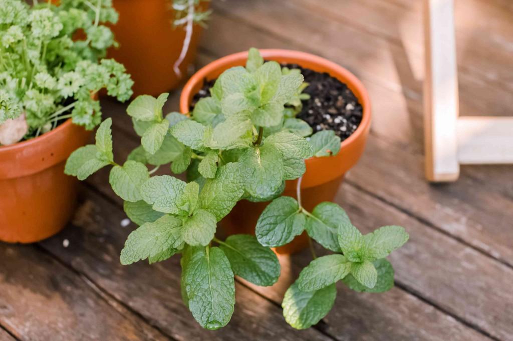 hortela pimenta como plantar