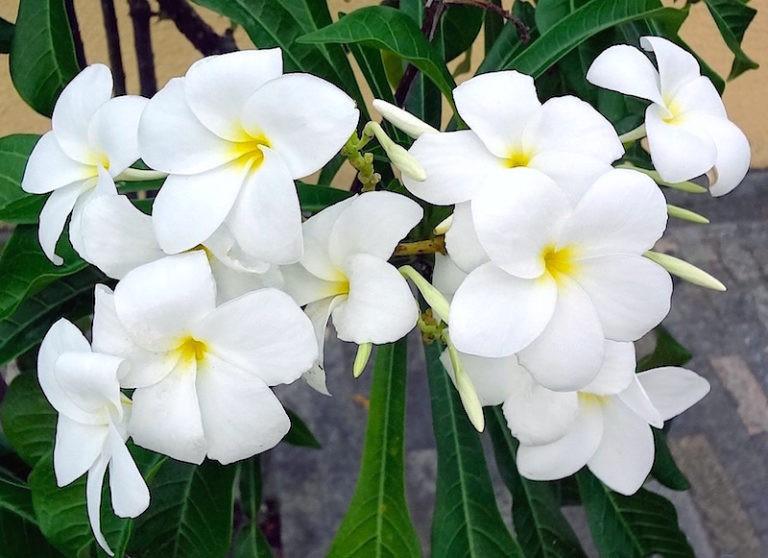 jasmim do caribe como plantar
