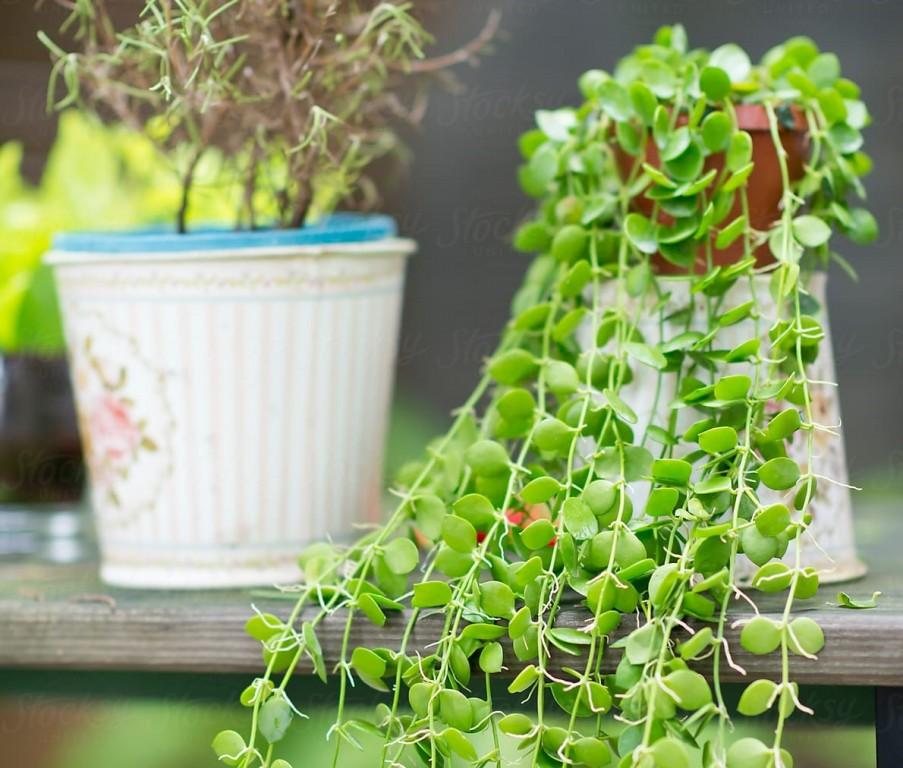 lagrimas de bebe como plantar