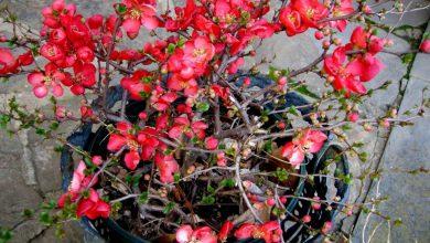 marmelo em flor como plantar