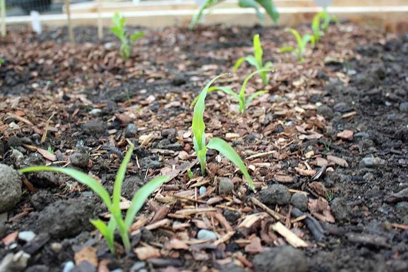 milho como plantar