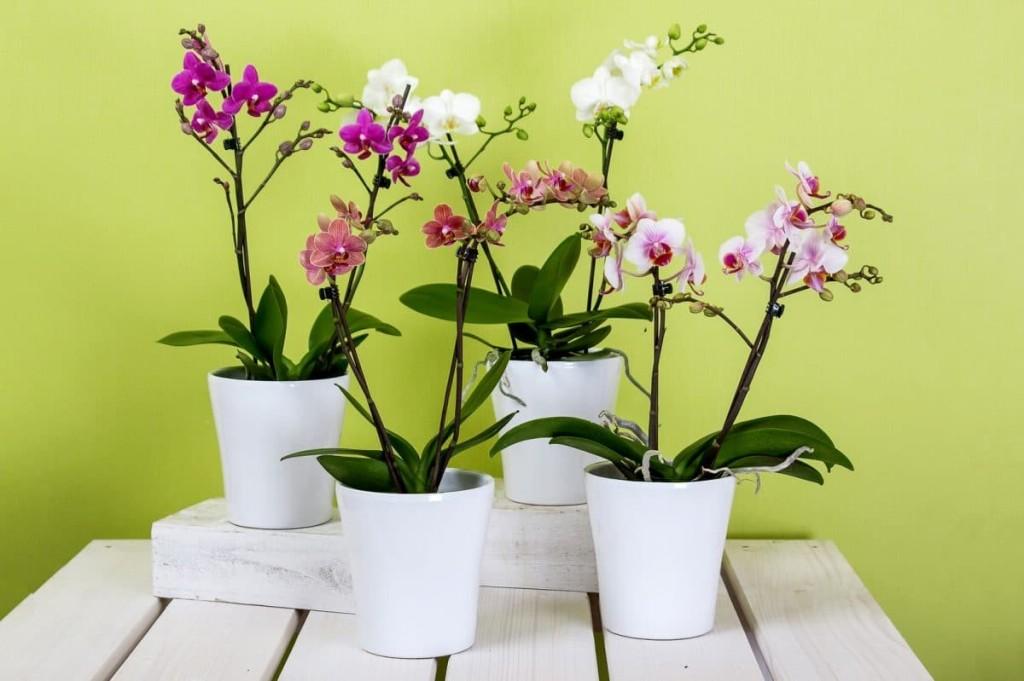 orquidea no vaso